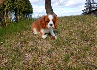 Cavalier king charles spaniel puppy (3)