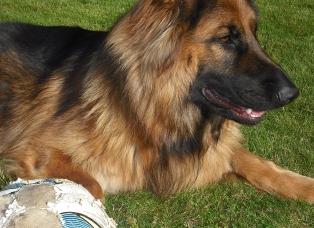 ong haired german shepherd