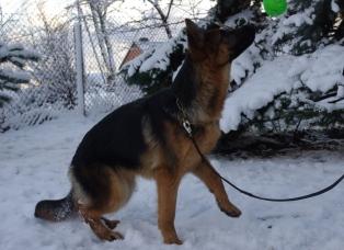 german shepherd in winter