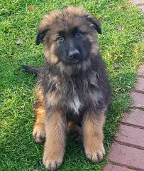 Long Haired German Shepherd Puppies from the kennel Alto Paradas