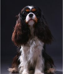 Helandros Ultra Magic Tricolor cavalier king charles spaniel