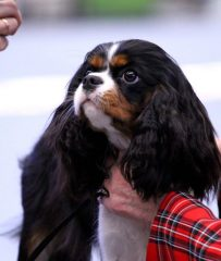 Cavalier king charles spaniel from kennel