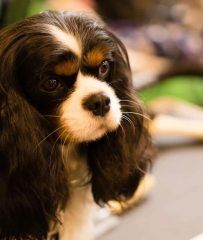 Tricolor cavalier king charles spaniel girl 2 years old - Mege, Kennel
